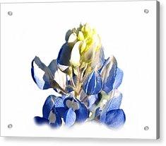 Pure Blue Bonnet Acrylic Print by James Granberry