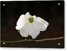 Pure White Acrylic Print by Linda Brown