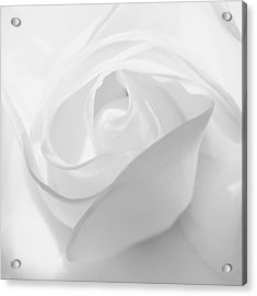 Purity - White Rose Acrylic Print