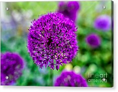 Purple Acrylic Print by Adrian Evans