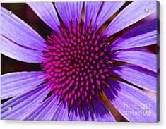 Purple And Pink Daisy Acrylic Print
