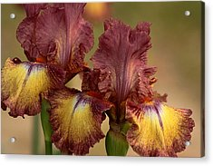 Acrylic Print featuring the photograph Purple And Yellow Bearded Iris by Sheila Brown