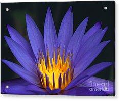 Purple And Yellow Water Lily Acrylic Print by Sabrina L Ryan