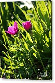 Purple Anemone Acrylic Print by Arik Baltinester