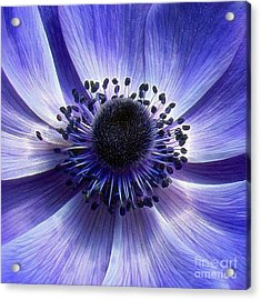 Purple Anemone Macro Acrylic Print by Sue Melvin