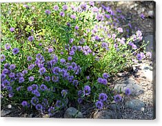 Purple Bachelor Button Flower Acrylic Print