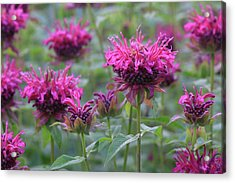 Purple Bee Balm Acrylic Print