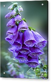Purple Bell Flowers Foxglove Flowering Stalk Acrylic Print by Carol F Austin