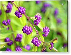 Purple Berries Acrylic Print