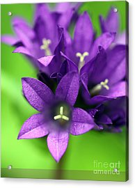 Purple Blooms Acrylic Print by Amanda Barcon