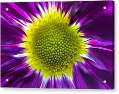 Purple Burst Acrylic Print