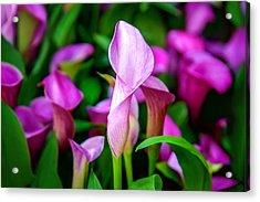 Purple Calla Lilies Acrylic Print by Az Jackson