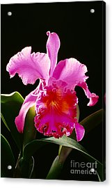 Purple Cattleya Acrylic Print by Tomas del Amo - Printscapes