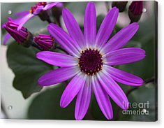 Purple Cineraria Flower And Buds 2016 Acrylic Print by Karen Adams