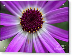 Purple Cineraria Flower Close-up 2016 Acrylic Print by Karen Adams