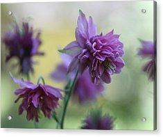 Purple Columbine Acrylic Print by  Andrea Lazar