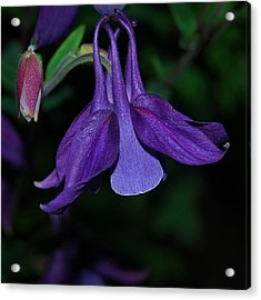 Purple Columbine Acrylic Print