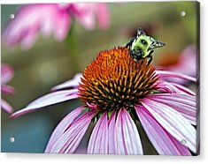 Purple Cone Flower And Bee Acrylic Print