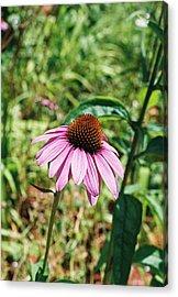 Purple Coneflower Acrylic Print by Cheryl Martin