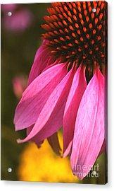 Purple Coneflower Close-up Acrylic Print