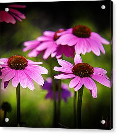 Purple Coneflowers Acrylic Print