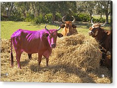 Purple Cow Acrylic Print