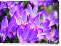Acrylic Print featuring the photograph Purple Crocus Flowers by Charline Xia
