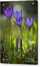 Acrylic Print featuring the photograph Purple Crocus Flowers by Jean Bernard Roussilhe