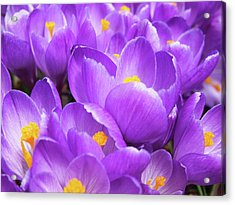 Purple Crocuses Acrylic Print
