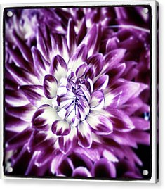 Acrylic Print featuring the photograph Purple Dahlia. A Color Variation Of The by Mr Photojimsf