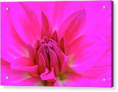 Purple Dahlia Acrylic Print by Juergen Roth