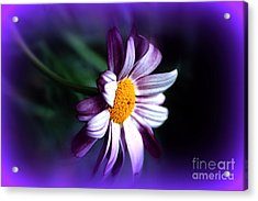 Acrylic Print featuring the photograph Purple Daisy Flower by Susanne Van Hulst