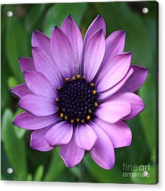 Purple Daisy Square Acrylic Print