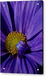 Purple Daisy Acrylic Print by Susan Heller