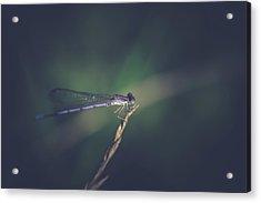 Acrylic Print featuring the photograph Purple Damsel by Shane Holsclaw