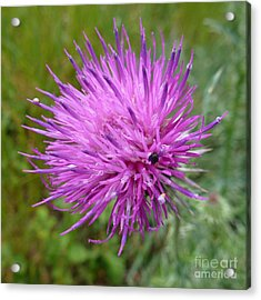 Purple Dandelions 2 Acrylic Print by Jean Bernard Roussilhe