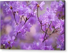 Acrylic Print featuring the photograph Purple Delight. Spring Watercolors by Jenny Rainbow