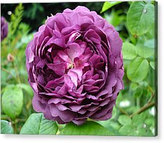 Purple English Rose Acrylic Print