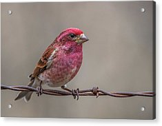 Acrylic Print featuring the photograph Purple Finch On Barbwire by Paul Freidlund