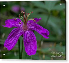 Purple Flower 5 Acrylic Print