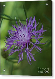 Purple Flower 8 Acrylic Print