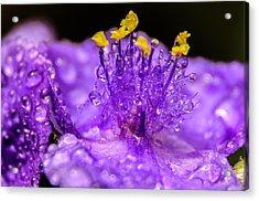 Purple Flower After The Rain Acrylic Print