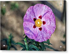 Acrylic Print featuring the photograph Purple Rockrose by Alison Frank