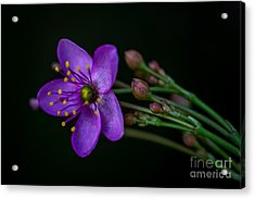 Purple Flower Acrylic Print by Lisa Plymell