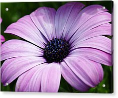 Purple Flower Macro Acrylic Print