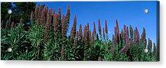 Purple Flowers, Taft Gardens, Ojai Acrylic Print by Panoramic Images