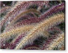 Purple Fountain Grass Sunken Garden Centennial Park Acrylic Print by Photo Captures by Jeffery