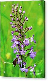 Purple Fringed Orchid Acrylic Print