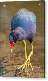 Purple Gallinule Bigfoot Acrylic Print