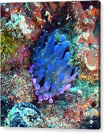 Purple Giant Sea Anemone Acrylic Print